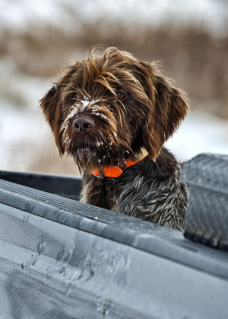 Wirehaired Pointing Griffon---- this is what we think toad is or is related to