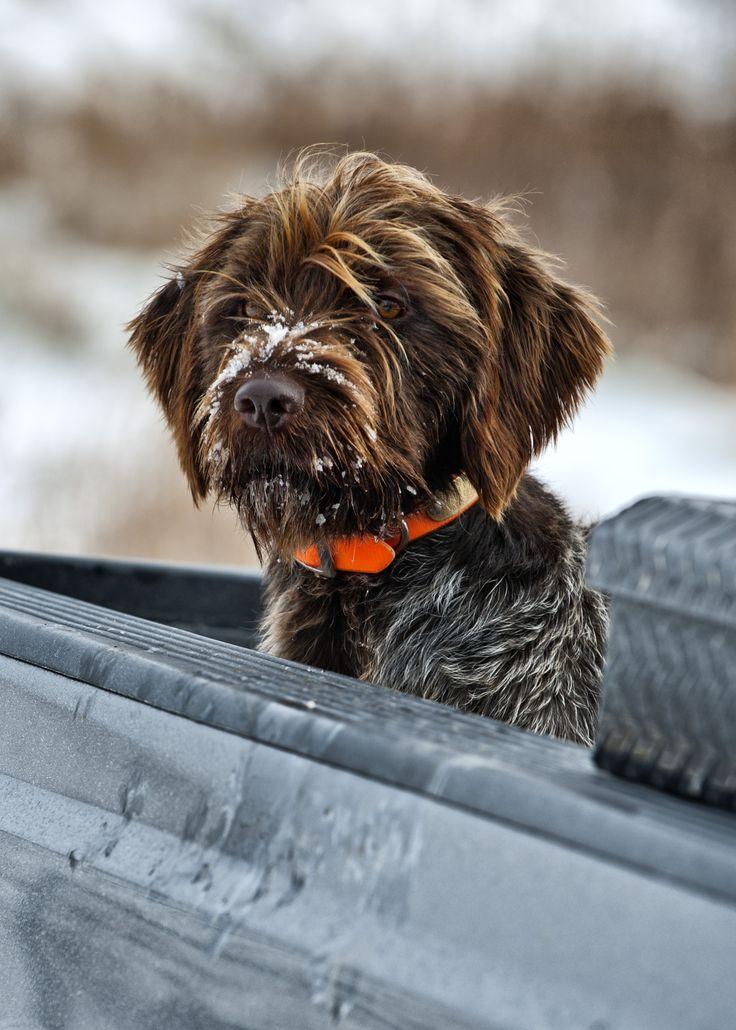 Griffon Hunting Dog