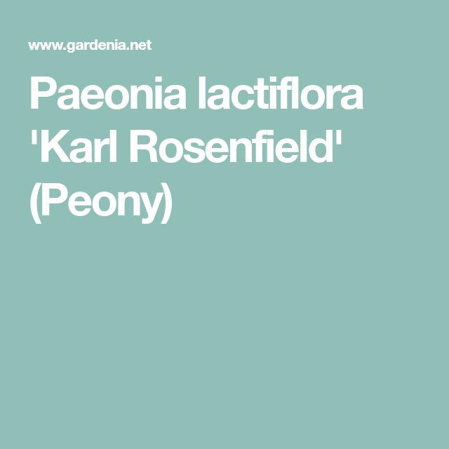 Paeonia lactiflora 'Karl Rosenfield' (Peony)