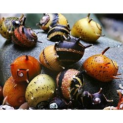 Snail - Spiny Tricolor Cleaner Nerite