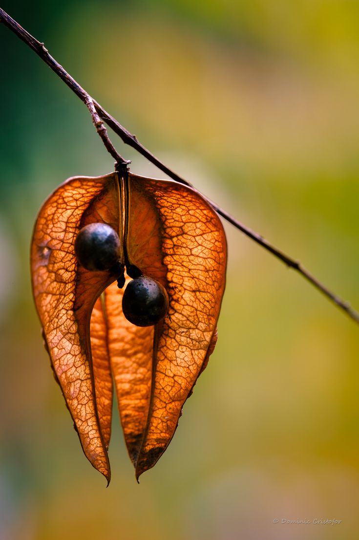 Seed Pod by Dominic Cristofor