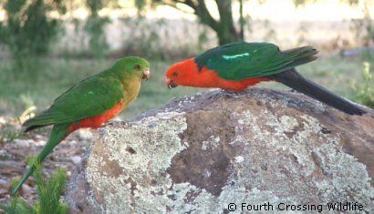 Another pair of Australian King Parrots