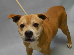 SUPER URGENT 11/22/16 AL – A1097610  MALE, BROWN / WHITE, AM PIT BULL TER MIX, 10 yrs STRAY – STRAY WAIT, NO HOLD Reason STRAY Intake condition GERIATRIC Intake Date 11/22/2016, From NY 11208, DueOut Date 11/25/2016,