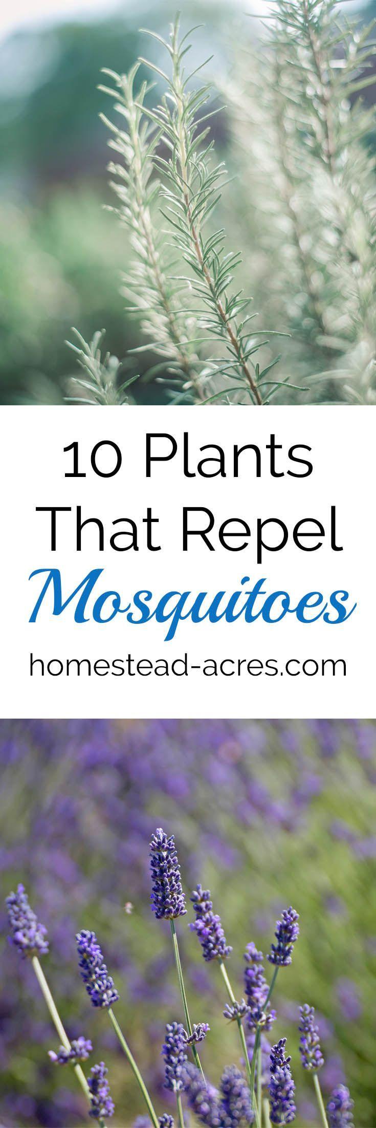 10 Plants That Repel Mosquitoes. Easy to grow flowers and herbs to help keep mosquitoes away. https://www.homestead-acres.com/10-plants-that-repel-mosquitoes/?utm_campaign=coschedule&utm_source=pinterest&utm_medium=Kim Mills | Homestead Acres | Homeschool