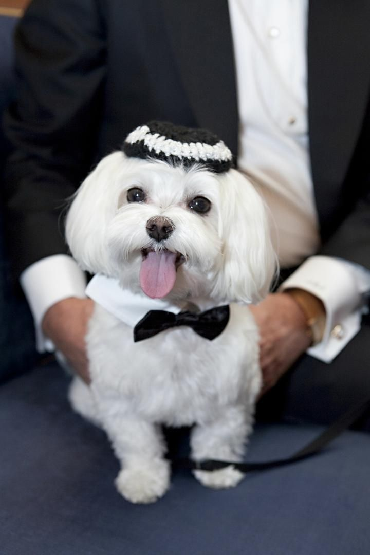 Flower Girls Ring Bearers Photos Maltese Ring Bearer Wedding Pets Dog Wedding Wedding Inside
