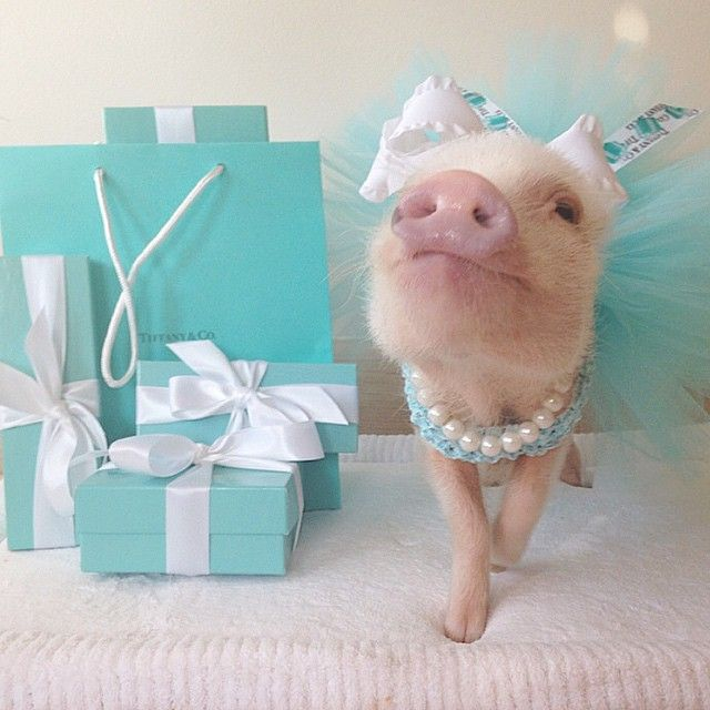 Breakfast at Tiffany's today anyone?   Photo: Courtesy of Priscilla the Pig / @prissy_pig