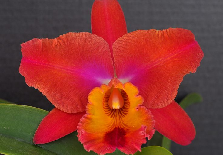 """Potinara Neon Sky  This is a Fender's Flora hybrid of Pot. Jimmy Cook x Blc. Eagle Island. We named it after Bob Seger's song, Neon Sky. This particular orchid opens yellow, turns to orange and finally darkens with the """"neon"""