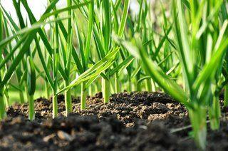 Cultivare usturoi de toamna