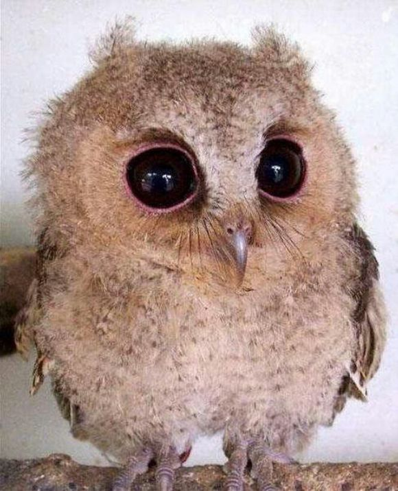 Just Another Baby Owl | Cutest Paw