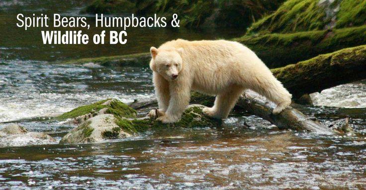 Spirit Bear, Great Bear Rainforest, British Colombia,  Canada