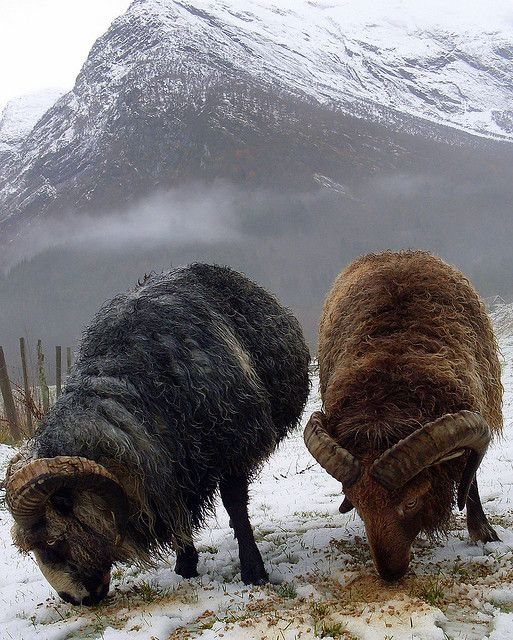 """Reminds me that it is April-Aries is my star sign-""""Old Norwegian Spael"""" Rams in snow (Photo: Knut P. Bøyum)"""