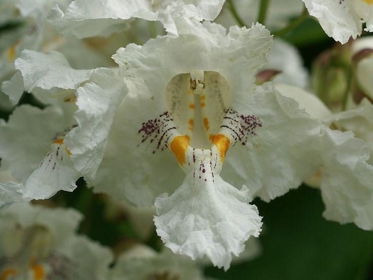 http://faaxaal.forumactif.com/t5043-photos-de-bignoniaceae-catalpa-a-feuilles-cordees-catalpa-speciosa-northern-catalpa-bean-tree-catawba-tree-hardy-catalpa-northern-cigar-tree-western-catalpa