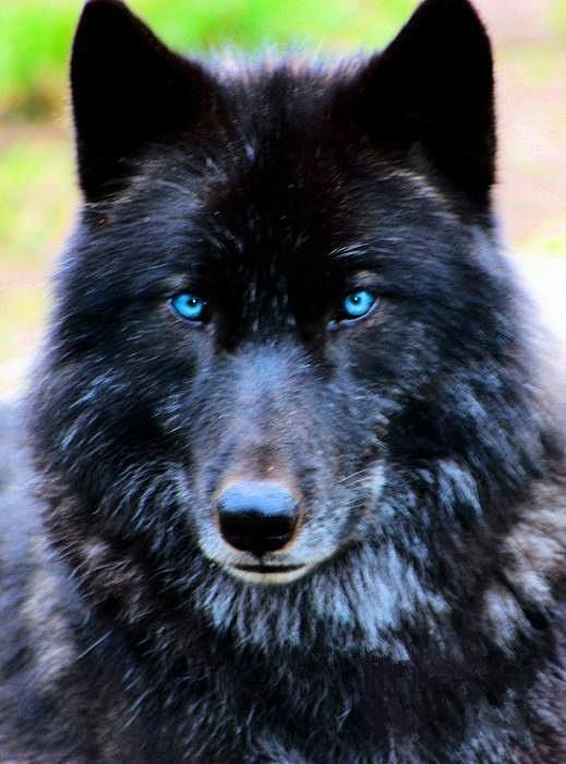 Black Wolf with blue eyes, is there such an wolf, beautiful anyway.