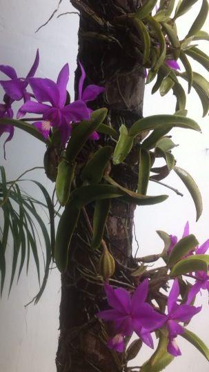 Cattleyas