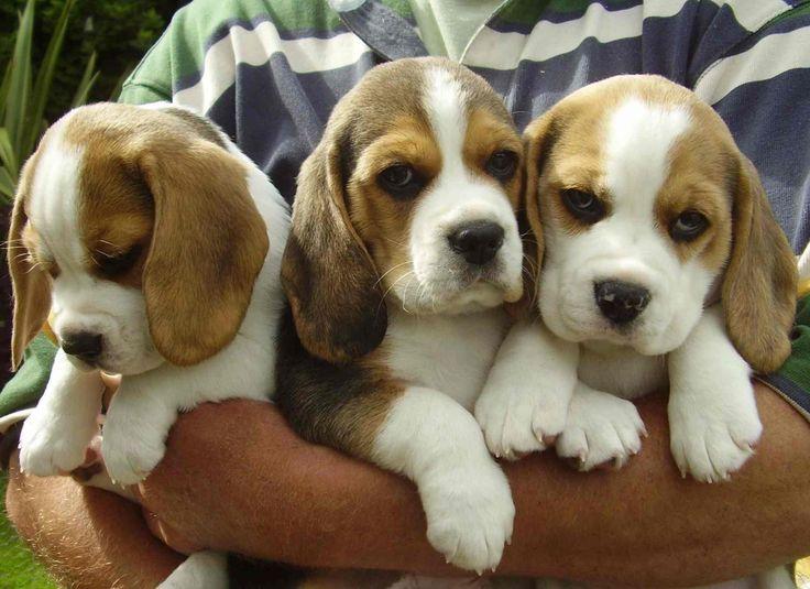 racimo de beagles