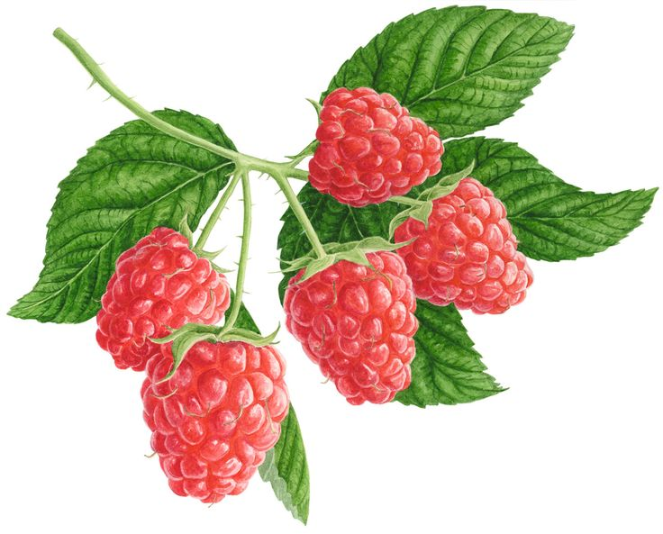 'Raspberries' - by Anna Mason | Watercolour on paper | solo exhibition at The Royal Horticultural Society's garden at Wisley, Surrey, UK.