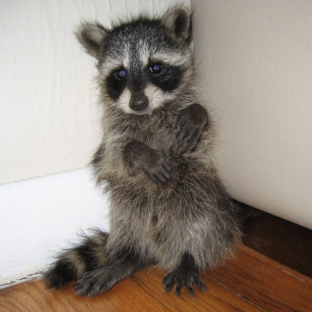 No One Puts Baby in a Corner!: Babies, Time Out, Pet, Raccoons, Baby Animals, Funny Animal