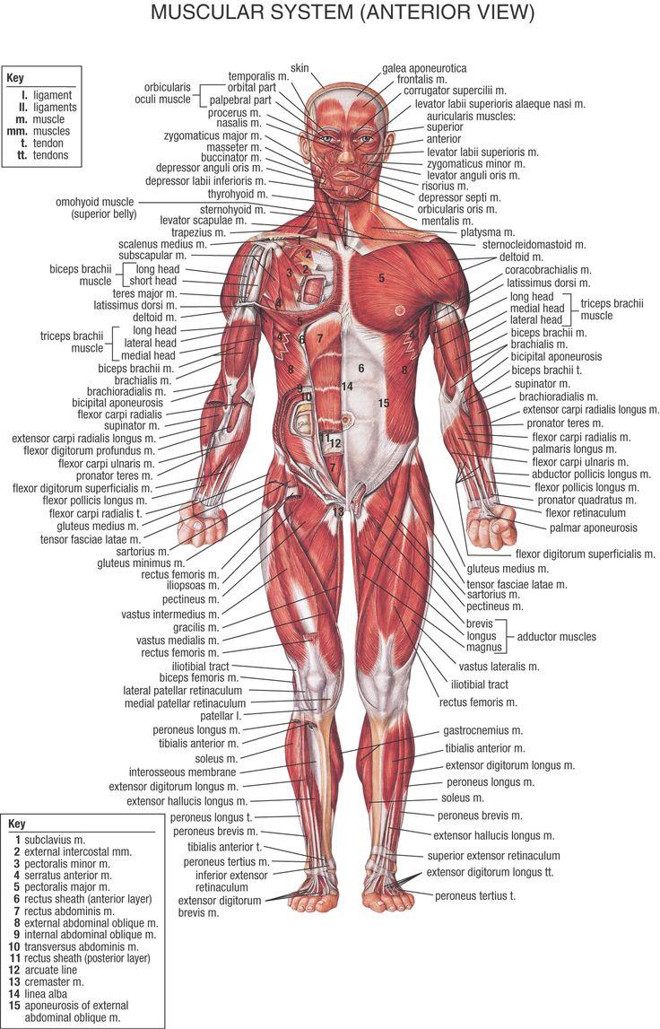 14 besten Anatomy Bilder auf Pinterest | Menschliche anatomie ...