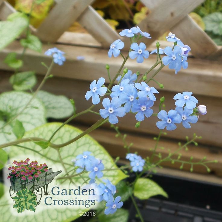 Beautiful Small Blue Flowers Bloom Above Light Green Foliage With Dark  Green Veining. A Real
