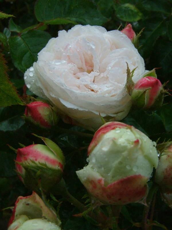 Louise d'Arzens est un rosier au port buissonnant, portant des fleurs doubles, de 8 cm de diamètre environ, réunies en petits bouquets, parfumées se parant de blanc parfois taché de rose. La floraison est remontante.  Noisette. Lacharme, 1861.