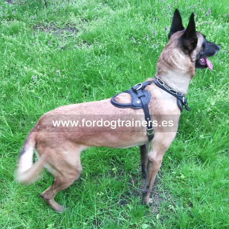 #Pechera para #pastor #belga de cuero natural «Perro de trabajo» Precio básico 47,70 € http://www.fordogtrainers.es/index.php/tienda/productos-por-raza/pechera-para-pastor-belga-de-cuero-natural-perro-de-trabajo-detail