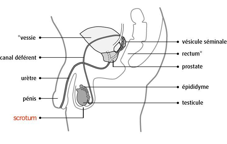 Enveloppe cutanée (sac de peau) des testicules. Mot latin. Appelé aussi :Bourses – Enveloppe des testicules Anglais :Scrotum Russe :Мошонка (moshonka) Situé entre le pénis et l'anus, il protège …