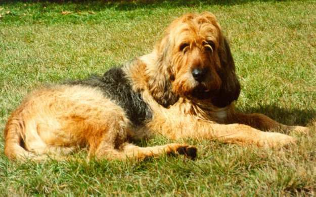 The Otterhound | 10 Big Fluffy Dog Breeds That Are  Absolutely Beautiful  See more fluffy dogs here: http://dogbreedsjournal.com/fluffy-dog-breeds/
