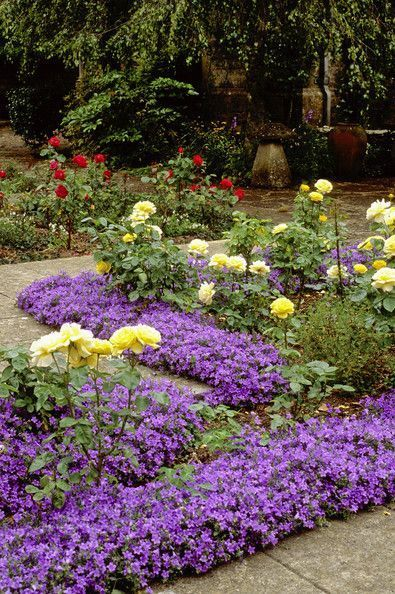 Yellow Roses and purple border, lovely combination!