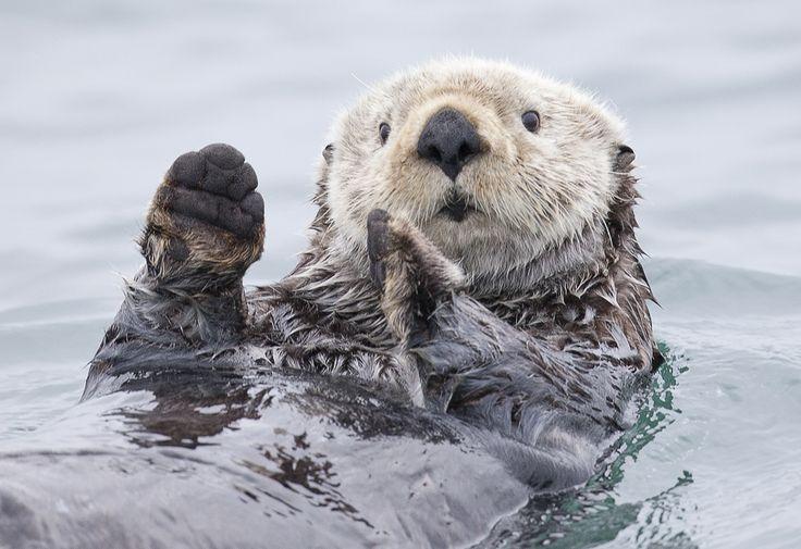 Who Me?Romans Golubenko, Animal Photography, Animal Humor, Fish, Funny Stuff, Keep Calm, Funny Animal Photos, First Day, Sea Otters