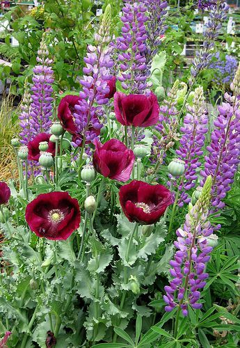 Wat hlu ik yoch van klaprozen!!!Papaver Laurens Grape and Lupinus perennis // Great Gardens & Ideas // #CottageGarden