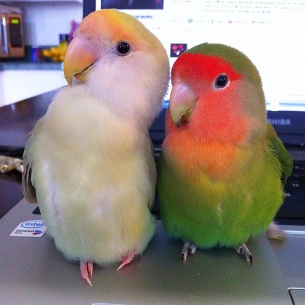 Inséparables vert et gorge rose et blanc à front jaune.