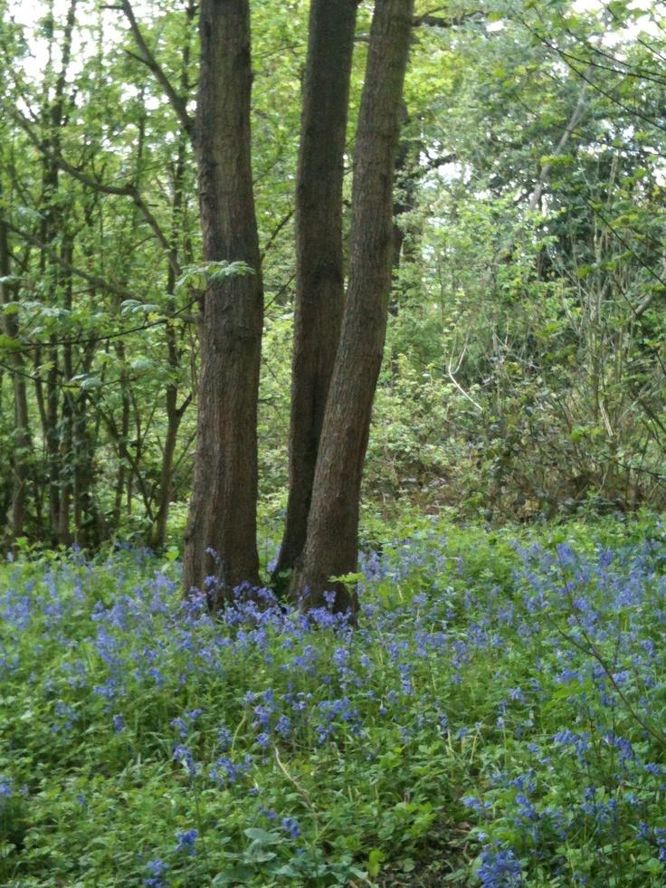 Bluebells at Belhus Woods, Hornchurch, Essex, England 2012
