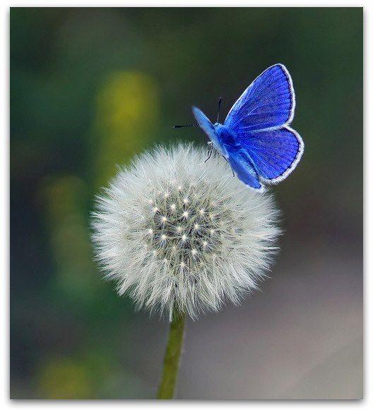 (via (900) butterfly   Bleu   Pinterest   Butterflies, Dandelions and Blue Butterfly)