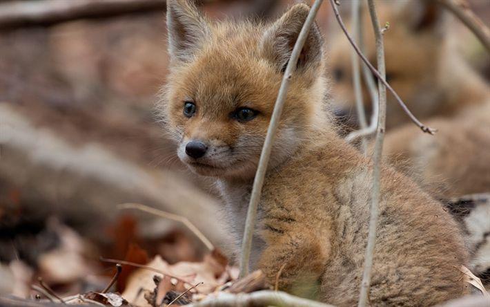 Télécharger fonds d'écran petit renard, animaux de la forêt, de petits animaux, de renard, de la faune