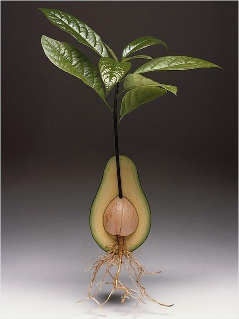 25 Best Ideas About Avocado Tree On Pinterest Growing