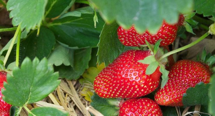 Creating And Planting A New Strawberry Patch – And Our Favorite Strawberry Recipes!