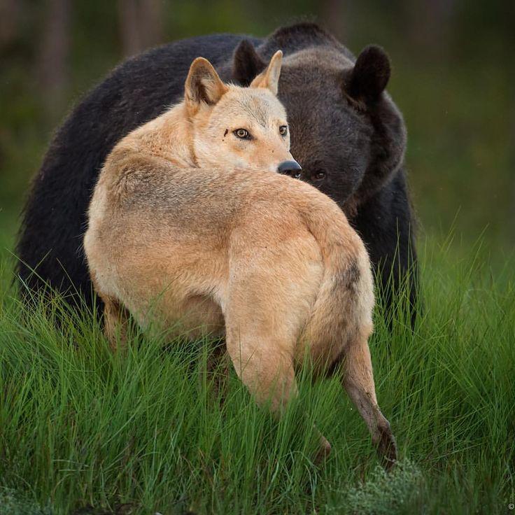 волк медведь фото решила