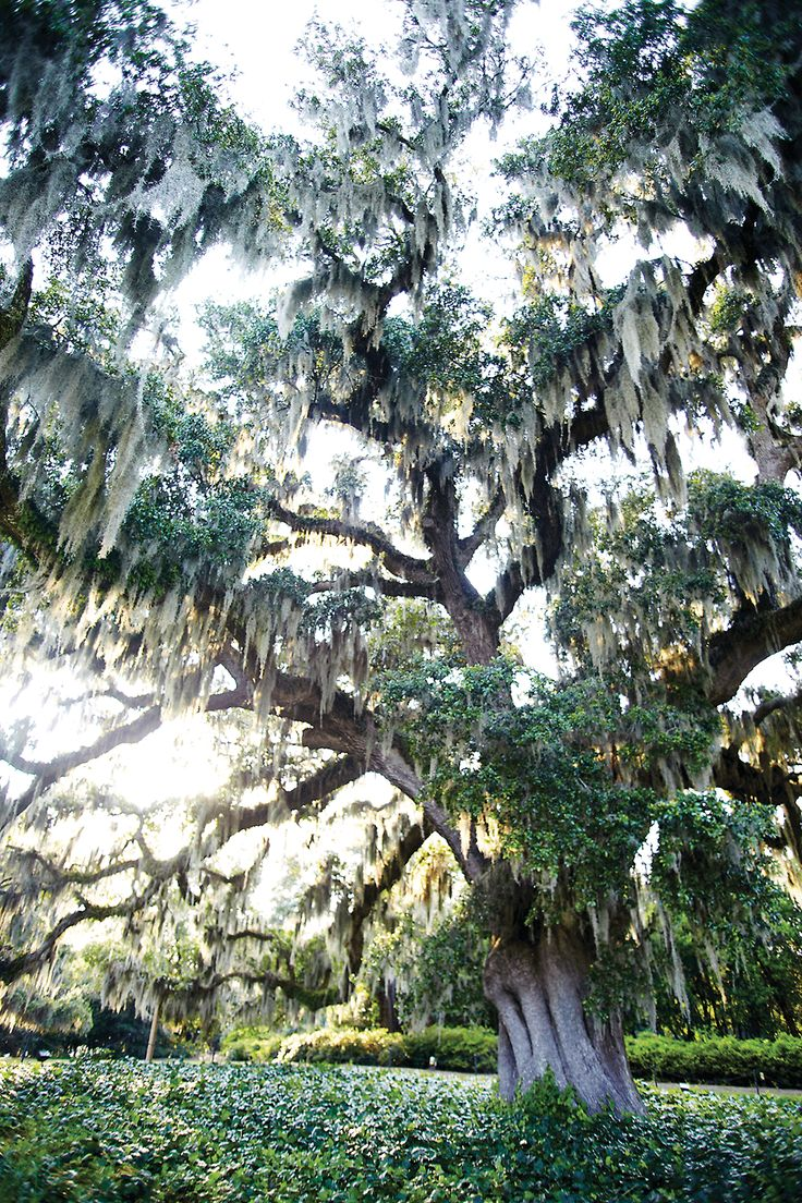 When visitors picnic under the live oak in Wilmington's Airlie Gardens, they carry on a social legacy a century in the making.