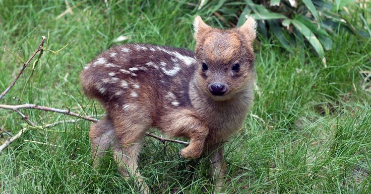 Check out this article from USA TODAY:  Meet the world's smallest deer species  http://usat.ly/1S6iqsW