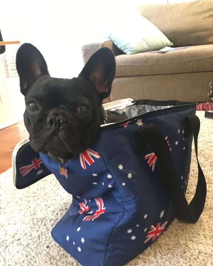 Happy Australia Day ! When you're trying to sneak off to the Australia Day picnic with the humans ! #australiaday #stowaway #frenchie #frenchieoftheday #französischebulldogge #franskbulldog #frenchbull #fransebulldog #frenchbulldog #frenchiepuppy #bondi #dogsofinstagram #petstagram #puppy #puppylove #bully #bulldog #bullyinstafeature #bulldogfrances #フレンチブルドッグ #フレンチブルドッグ #フレブル #ワンコ #frenchyfanatics #frenchiesgram #frenchbulldogsofinstagram #frenchiesoverload #ilovemyfrenchie #batpig #buhi…