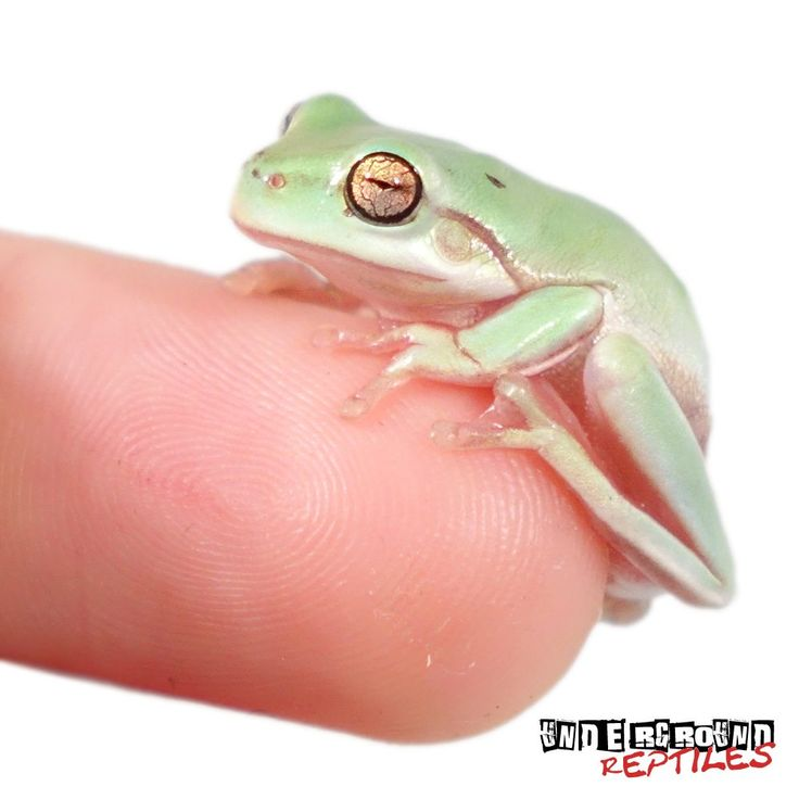 Baby Dumpy Tree Frogs For Sale - Underground Reptiles