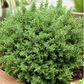 Hebe buxifolia  A very pretty and easy to grow small evergreen flowering shrub, with masses of white flowers appearing in late winter. Ideal border and hedge plant. Prefers a full sun to part shade position in well drained soil. Drought tolerant and frost hardy onc...