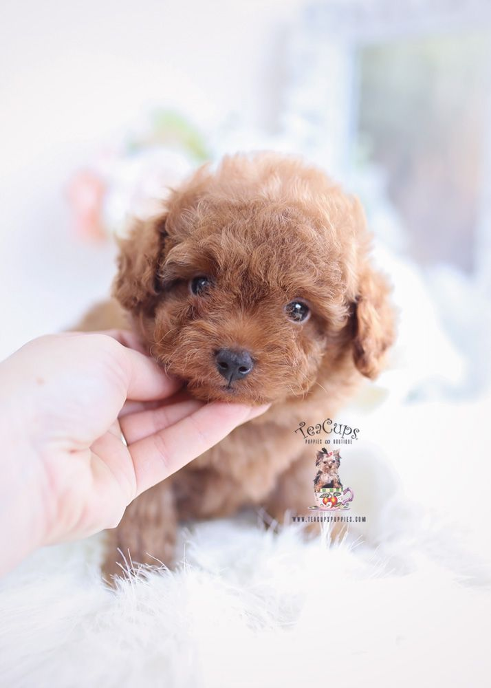 Parti Poodle Puppies Miami Fl Teacups Puppies Boutique