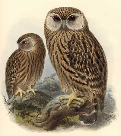 The Laughing Owl (Sceloglaux albifacies), also known as Whēkau or the White-faced Owl, was an endemic owl found in New Zealand, but is now extinct. It was plentiful when European settlers arrived in New Zealand in 1840.  By 1880, the species was becoming rare, and the last recorded specimen was found dead at Bluecliffs Station in Canterbury, New Zealand on July 5, 1914