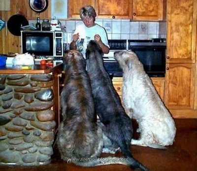 Worlds Biggest Dogs (I am so in love with Huge Dogs and horses lol)  Check out the pictures.