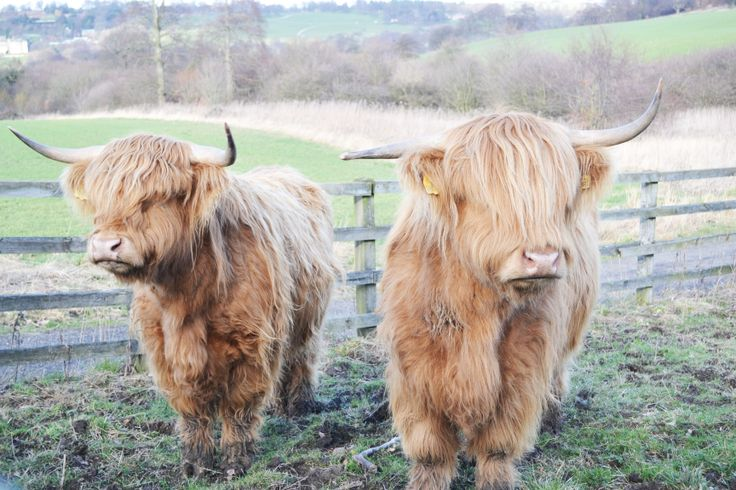 Twin cows! (i think) super cute, Taken by me, Michaela Gambella