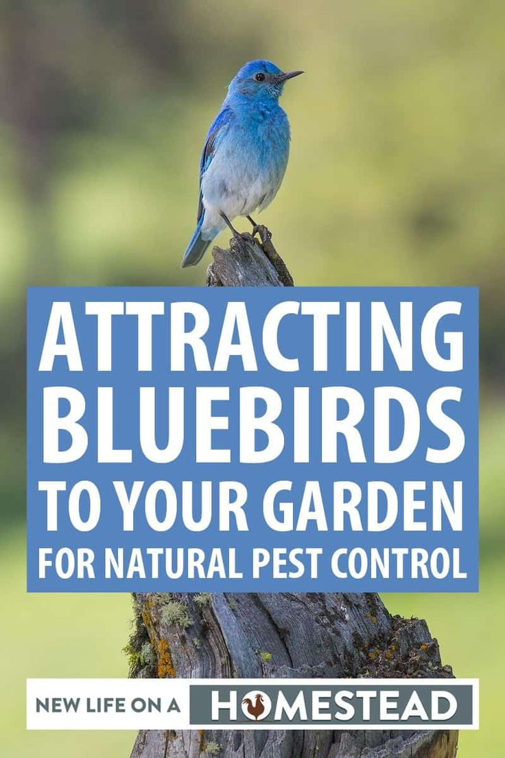 Attracting Bluebirds To Your Garden for Natural Pest ...