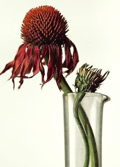 Peter Lippmann: Plantsechinacea 575800, Medicinal Plants, Plants Echinacea 575 800, Plants, Medicine Plants Echinacea, Fleur Spécial, Flowers, Natural, Medicine Plantsechinacea