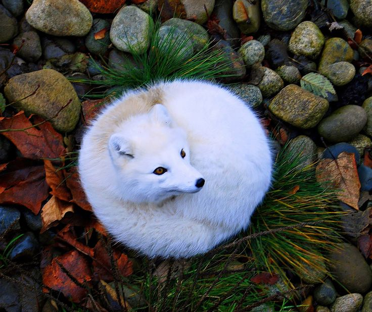 The arctic fox has a gorgeous white or blue-gray coat that helps them blend in perfectly with their natural surroundings. When the weather warms up, the arctic fox changes colors, growing in a brown or gray coat to help them maintain their excellent camouflage sans snow.7 Of The Most Breathtakingly Beautiful Fox Species In The World