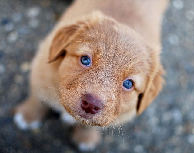 Baby Blues: A Toller Puppy! by Tc7: 6 week old Nova Scotia Duck Tolling Retriever. (To toll is to lure game within shooting range.)   #Dog #Nova_Scotia_Duck_Tolling_Retrieve rc7